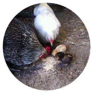 Kippen, B&B Wachtpost 29, Volkel